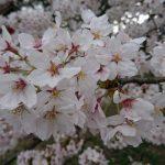 高田公園の満開のサクラ